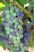 色づいたブドウ