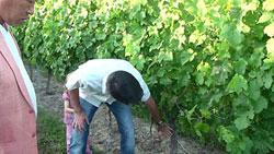比較 ラトゥースのブドウ若樹