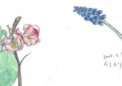 花 (木瓜、ムスカリ)(2005.5.1.)